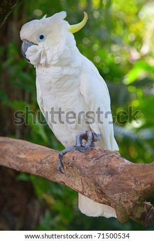 sulphur-crested cockatoo in the Bali bird park