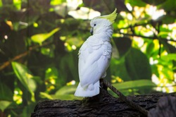 Sulphur-crested Cockatoo in the forest