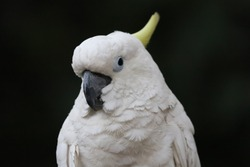 sulphur crested cockatoo is a relatively large white cockatoo