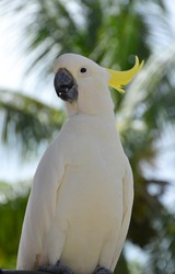 Sulphur-crested cockatoo - white parrot