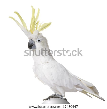 Sulphur-crested Cockatoo (22 years) - Cacatua galerita in front of a white background