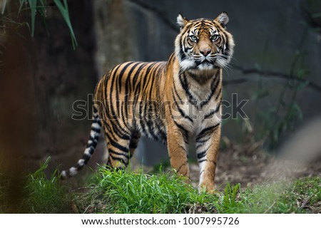 Sumatra tiger standing in grass looking at the camera