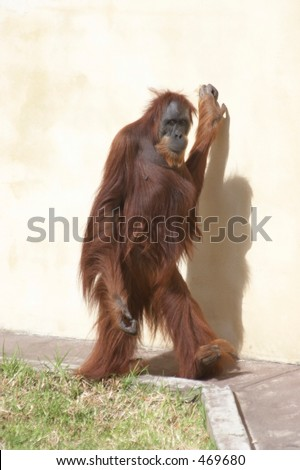 Sumatran Orang-utan Pongo abelii walking upright