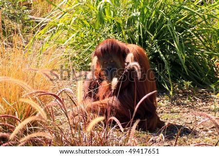 Sumatran Orangutan camouflaged by grasses. Adelaide Zoo, Adelaide, Australia