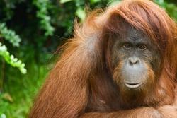 Sumatran Orangutan close-up