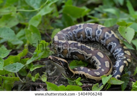 Sumatran Red Blood Python (Python curtis curtis) commonly known as red short-tailed python, a nonvenomous snake