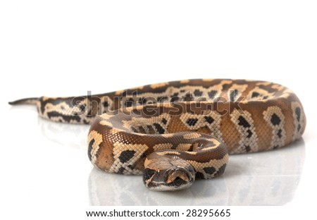 short tailed blood blood python python curtus find simi