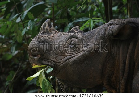 Sumatran Rhino (  Sumatran rhinoceros) Сток-фото ©