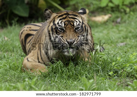 Sumatran tiger an endemic predator from Sumatra Indonesia