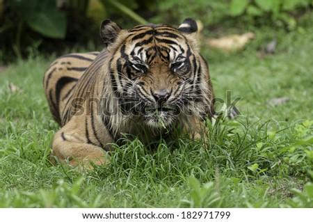 Sumatran tiger an endemic predator from Sumatra Indonesia #182971799