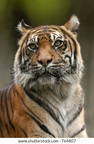 Sumatran tiger at Jihlava Zoo in the Czech Republic.