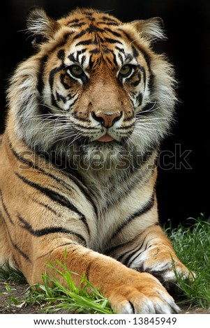 Sumatran Tiger closeup.
