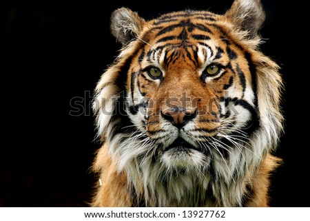Sumatran Tiger Closeup on black background.