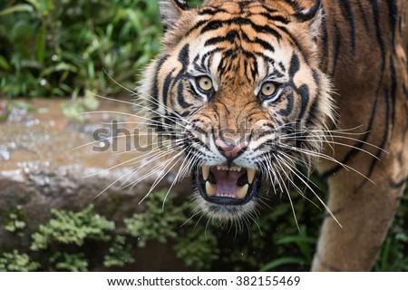 Sumatran Tiger Dilated Eyes #382155469