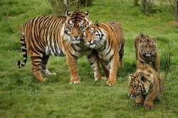 Sumatran Tiger, panthera tigris sumatrae, Mother with Cub