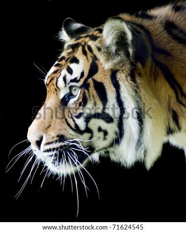 Sumatran tiger profile on a black background #71624545