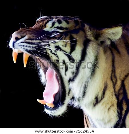 Sumatran Tiger Roaring #71624554