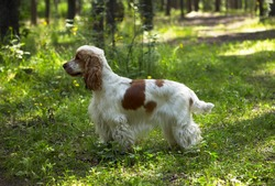 Summer. A park. A red and white English Cocker Spaniel stands on a green lawn. The background is blurred.