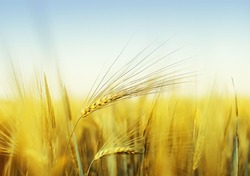 Summer agricultural background of yellow wheat spike under blue sky