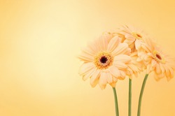 Summer/autumn blossoming gerbera flowers orange background, bright fall floral card, selective focus, toned