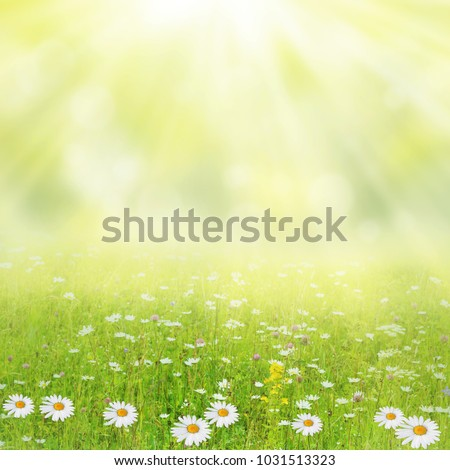 Summer background. Meadow with a flower of camomiles.