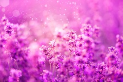 Summer background of  purple lavender flowers blooming. Concept of beauty, aroma and aromatherapy
