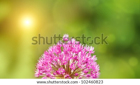 Summer background with blurred background and Allium flower in front