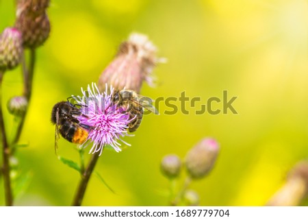 Summer background with two bee and bumblebee polonating a field budrock flower with a copy space. Stock photo ©