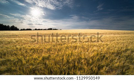 Summer barley field in sun backlight. Hordeum vulgare. Golden cornfield with ripe spikes in natural rural landscape. Blue sky, white clouds and sun beams. Idea agriculture, farming, harvesting. #1129950149
