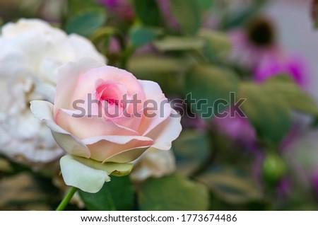 Summer beautiful pink roses flower. Climbing pink roses in garden