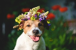 Summer beauty concept with happy dog wearing wreath of summertime flowers on head
