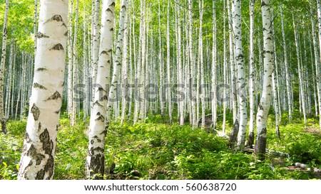 Summer birch forests Photo stock ©