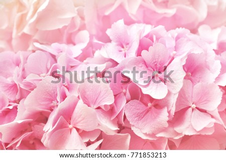 Stock Photo Summer blossoming delicate hydrangea, blooming flowers and petals festive background, pastel and soft floral frame card