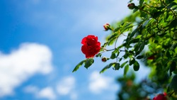 summer bluesky rose cloud redrose