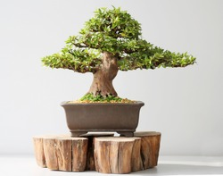 summer bonsai azalea tree