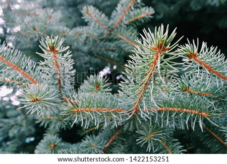 Summer branch tips of coniferous Blue Spruce tree, also called Green Spruce, White Spruce or Colorado Spruce, latin name Picea Pungens, sunbathing in afternoon sunshine. #1422153251