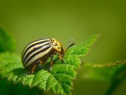 Summer. Colorado potato beetle. Green background. Macro shooting.