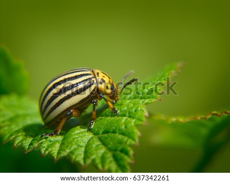 Summer. Colorado potato beetle. Green background. Macro shooting.