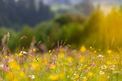 Summer concept. Blooming meadow of colorful wild flowers and herbs on a background of forest and mountains. Carpet of summer flowers in the glade