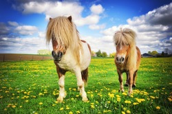 Summer country landscape with two shetland ponies