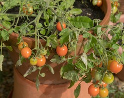 Summer Crop of Home Grown Organic Tumbling Tomatoes (Solanum lycopericum 'Tumbler F1') Ripening in a Terracotta Flowerpot on an Allotment in a Vegetable Garden in Rural Devon, England, UK