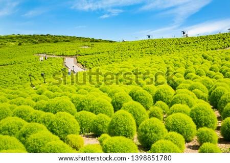 Summer cypress field in Hitachi seaside park #1398851780