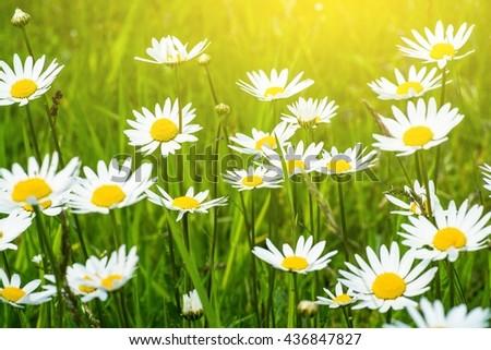 Summer Daisies Field Closeup Photo. Wild Daisy Flowers.