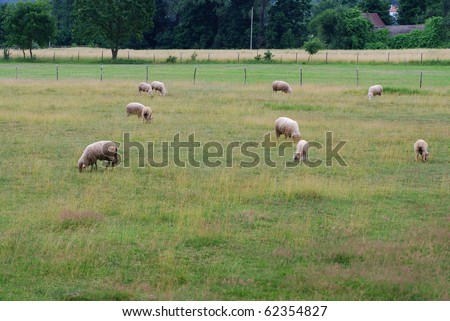 Summer day. Sheep standing on the pasture.