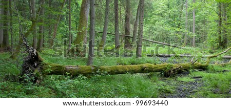 Summer deciduous stand of Bialowieza Forest with windstorm hornbeam tree broken lying among herbs and grasses