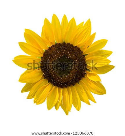 summer decorative sunflowers isolated on white background