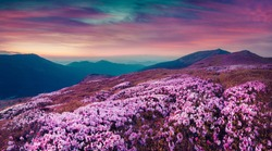 Summer evening scene in the Carpathians. Carpet of blooming rhododendron flowers covered mountain hills under a deep red sky. Pink filter toned.