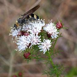 summer farewell (D. Pinnata) blooms Florida native with cicada wasp killer.
