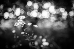 Summer field flowers in morning light. Macro view  of daisy flowers and bokeh forest nature. Black and white process, artistic nature closeup, dramatic monochrome photo. Fine art concept, decoration