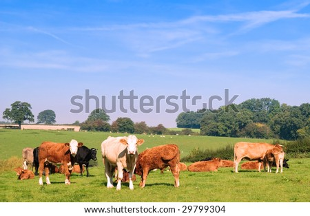 Summer field of cows and calves with sheep in rural setting